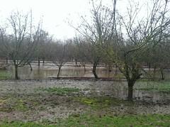 orchard flood inside (growing hazelnuts) Tags: flood orchard treesunderwater