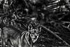 Meu território (Junior AmoJr) Tags: street bw pet color art sol cão arquitetura brasil photoshop canon sãopaulo chuva wb pb paisagem sp junior getty animais cor engraçado snapfish gettyimages lightroom t3i colorido mamífero contributors atibaia monocromatico photostock photostreet flickrawards itsnoon dicoveryphotos gettyimagesandtheflickrcollection gettyimagesbrazil amojr junioramojr theauthor´splaza crowdart oliveirajunior riafestival