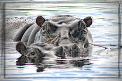 Hippo and baby (Bevacqua2011) Tags: botswana hippos wildanimals choberiver