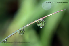Macro the Morning Dew (Shahriar Xplores...) Tags: light sun color macro reflection green nature water beautiful sunshine closeup canon reflections dark eos rebel golden focus asia dof image flash depthoffield stunning dhaka 60mm moment sell supermacro f11 bangladesh morningdew gettyimages gettyimage 60mmmacro aisa canonmacro 550d t2i flickraward burningheaven canon550d 550dmacro canon550dmacro canonmacrobest requesttolicense framebangladesh canonmacro550d mornindew shahriarsphotography shahriarphotography