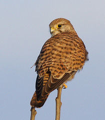 KESTREL at STRUMPSHAW FEN (jdoakey) Tags: uk greatbritain portrait england sky brown colour detail tree bird eye beautiful animal woodland wings bush pretty dad day branch colours close eyelashes britain gorgeous branches sony tail great norfolk wing beak feathers feather sunny clear raptor stunning norwich trunk fields british resting lovely february alpha dslr favourite fen animalplanet raptors oakley kestrel clearsky birdofprey strumpshaw a55 thewildlife strumpshawfen flickraward avianexcellence dslt sal70400g sony70400 flickraward sonya55 theinspirationgroup