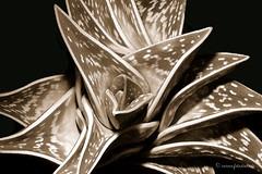 Kaktus Mokka (Fotostube.de) Tags: pink dahlia flowers red roses cactus plant orchid macro stillleben artwork shiny colorful bestof bright calla abstractart modernart pflanzen rosa blumen tulip excellent botanic glowing lucid makro landschaft chrysanthemum photoart brilliant farben leuchtend abstrakt kaktus naturfotos photodesign strelitzia strelitzie mulitcolored botanik dahlien fotoart fotokunst korbblter wandkunst pflanzenbilder makrofotos colourfulflower wanddesign buypictures rosenfotos fotoknstler knstlerbilder blumenfotoskaufen blumenposterkaufen modernefotokunst fotostube colorfulflowerdesign fotoblumen fotokunstkaufen exclusivebilder kunstbilderkaufen kunstzumkaufen modernekunstkaufen kunstdruckekaufen leinwandfotos