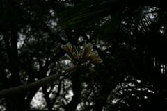 chafa (Harshalvv) Tags: flower chafa chapha