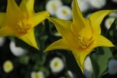 RU_201404_BotanischerGarten_010 (boleroplus) Tags: horizontal jaune allemagne augsburg tulipe bavière