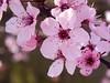 pink blossom [explored] (carol_malky) Tags: pink flowers light macro spring blossom bokeh explore stamen 2014 abigfave