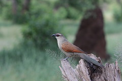 White-browed Coucal in its domain (Sergei Golyshev (AFK during workdays)) Tags: africa park white bird nature tanzania african wildlife birding east telephoto national cuckoo tarangire природа coucal парк птица browed superciliosus centropus национальный фауна кукушка африка танзания восточная шпорцевая тарангири