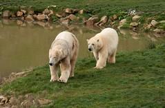 Polar Bears/Yorkshire Wildlife Park (www.natashaballettaphotograhy.com) Tags: wildlife polarbear polarbears yorkshirewildlifepark
