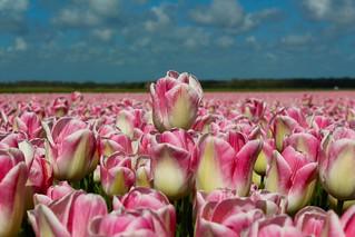 Tulips. Egmond. Noord-Holland.
