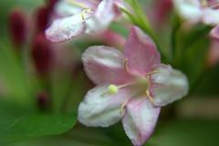 DSC_0108.NEF (tibal26) Tags: flower closeup natural x10