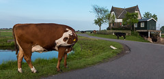 Cow and farm @ Zevenhoven (PaulHoo) Tags: panorama holland netherlands grass animal landscape lumix evening cow spring farm pano 2016 zevenhoven