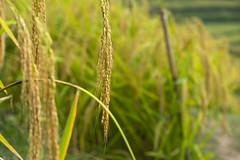 sawah 1 (Fakhri Anindita) Tags: bali nature field indonesia landscape photography nikon farm ubud sawah jatiluwih