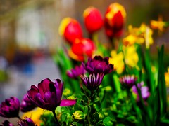 Receding Petal Lines (Professor Bop) Tags: park nyc newyorkcity flowers color spring dof purple tulips manhattan depthoffield madisonsquarepark 2016 drjazz professorbop olympusem1