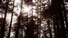 DSC01688 (YUKI Hsu / nlyuki) Tags: chiayi   sacredtree   shenmu alishannationalscenicarea 2y2m 6y3m