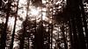 DSC01688 (YUKI Hsu / nlyuki) Tags: chiayi 阿里山 嘉義 sacredtree 神木 阿里山國家風景區 shenmu alishannationalscenicarea 情人果2y2m 可樂果6y3m