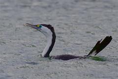 Karuhiruhi - pied shag - Phalacrocorax varius (Steve Attwood) Tags: newzealand bird nature canon wildlife canterbury cormorant shag phalacrocoraxvarius piedshag karuhiruhi ashleyestuary auldwoodphotography