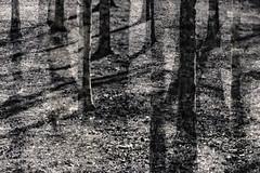 Park Life Monochrome (pni) Tags: park tree monochrome grass suomi finland helsinki multipleexposure trunk helsingfors tripleexposure multiexposure skrubu pni pekkanikrus