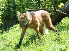 Mhnenwolf (Chriest) Tags: chrysocyonbrachyurus zoofrankfurt mhnenwolf