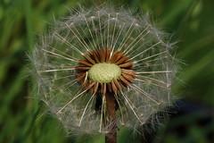 (bilska.anna) Tags: nature canon flickr time wildlife seeds uknature ukwildlife flickrnature