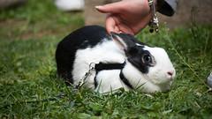 Devo ancora decidere se le carezzine mi piacciono... (divi333) Tags: rabbit bunny bunnies ferrara rabbits conigli coniglio 2016 conigliando