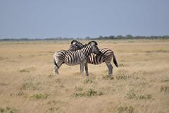 zebra crossing (pmsoftware) Tags: namibia etosha zebras