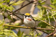 Chestnut-sided Warbler (rdroniuk) Tags: birds smallbirds warblers passerines chestnutsidedwarbler setophagapensylvanica oiseaux passereaux parulines parulineflancsmarron