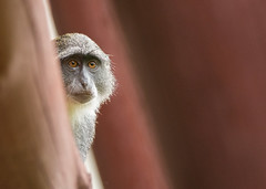 Sykes Monkey (Wouter's Wildlife Photography) Tags: nature rain animal mammal monkey sad kenya wildlife explore rainyseason sykesmonkey cercopithecusalbogularis