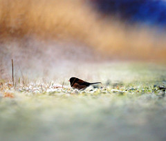 Looking for Food on The Frosty Ground (Explored) (TOTORORO.RORO) Tags: park canada bird nature lens mirror reflex dof bc bokeh sony delta trail translucent boundarybay alpha dyke 500mm f8 slt darkeyedjunco juncohyemalis greatervancouver a55 sal500f80
