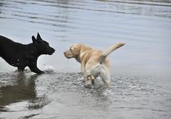 In the sea in late November! (smerikal) Tags: dog playing beach water lab labrador play retriever vesi ranta koira rannalla labbis eevilomailee