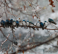 Swallows in a Snowstorm (kdee64) Tags: snowstorm may yukon whitehorse alder yukonriver huddling treeswallow tachycinetabicolor northerncanada freezingtemperatures piloerection coldweathersurvivalstrategies featherfluffing
