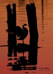 Fraser River Sunset (Kyle Bailey - Da Big Cheeze) Tags: sunset orange silhouette richmond fraserriver steveston canadagoose kylebailey dabigcheeze