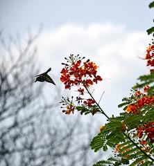 DSC_3895 Angel's Dance (percipio symphony) Tags: winter sky flower butterfly dance sunday sigma kolkata manualfocus nikond7000