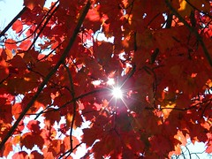 Sunny Red Leaves (Stanley Zimny (Thank You for 16 Million views)) Tags: park autumn trees red sun lake ny tree fall nature colors leaves automne catchycolors leaf colorful colours seasons natural fallcolors herbst autumncolors fourseasons burst autunno autumnal colorexplosion 4seasons rockland otono sgis ahorn naturephotos jesien natureimages jesiennie