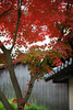 (rampx) Tags: autumn red leaves japanesemaple