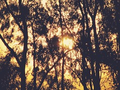 Hojas de Sol (JavierAndrs) Tags: old trees light sunset sky orange naturaleza sun tree luz sol nature argentina leaves silhouette canon contraluz hojas atardecer countryside high rboles branches country 2006 cielo rbol campo eucalyptus through altos silueta crdoba viejo naranja lots eucalipto ramas muchas atravsde backlightning