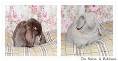 My sweethearts <3 (Jennifer Jacobs) Tags: cute bunny bunnies animal french sweet