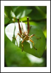 close-up #17 [explored] (e.nhan) Tags: life light green art nature leaves closeup leaf colours shadows dof bokeh grasshoppers backlighting enhan