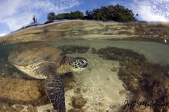 Turtle Over Under small watermark (Jeff Milisen) Tags: sea green history jeff nature hawaii angle natural turtle under wide over scuba diving diver reef chelonia mydas milisen milisenhawaiiedu
