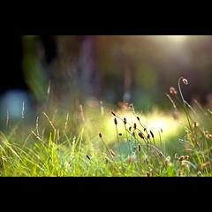 ruhe (~janne) Tags: plant nature grass 50mm weide flora f14 natur pflanzen meadow wiese olympus pasture environment gras wetzlar umwelt leitz janusz manuell summiluxr e520 ziob