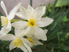 Narcissus sp. (redox86) Tags: flowers flower macro nature natura paperwhites finepix fiori fiore narciso narcissus amaryllidaceae narcisi s2950