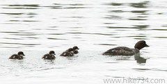 """Barrow's Goldeneye • <a style=""""font-size:0.8em;"""" href=""""http://www.flickr.com/photos/63501323@N07/6500210215/"""" target=""""_blank"""">View on Flickr</a>"""
