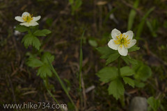 "Western Anemone • <a style=""font-size:0.8em;"" href=""http://www.flickr.com/photos/63501323@N07/6500232271/"" target=""_blank"">View on Flickr</a>"