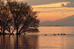 Paradise for wild birds * (HarQ Photography) Tags: winter japan sigma lakebiwa sd15 bestcapturesaoi elitegalleryaoi