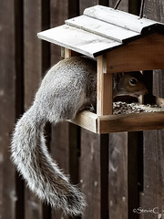 Too Big For This House (StevieC - Photography) Tags: nature animal canon garden fur squirrel rat wildlife esquilo ard