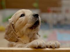 Training for Christmas songs (pe_ha45) Tags: dog chien goldenretriever pups cachorro cucciolo cachorra welpe whelps