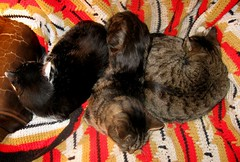 Unusal grouping -- Lovie, Paul and Beck (Hairlover) Tags: pet cats pets public cat kitten kitty kittens kitties catloaves kittyloaf threeleggedcat allcatsnopeople 22yearoldcat
