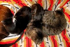 Unusal grouping -- Lovie, Paul and Beck (Hairlover) Tags: pet cats pets public cat kitten kitty kittens kitties catloaves kittyloaf threeleggedcat allcatsnopeople 22yearoldcat