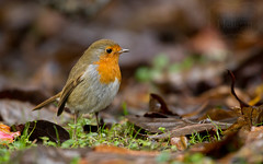 Robin Reliant (Richard Stafford Photography) Tags: bird nature robin leaves cornwall wildlife lawn heligan foraging heligangardens
