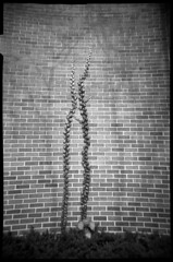Ivy (Voxphoto) Tags: shadow blackandwhite bw brick wall trix annarbor ivy plasticcamera jazz207 aristapremium400