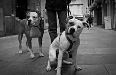 Primos (elementoneutro) Tags: canon eos bulldog perros macho burgos element americano americanbulldog hembra elementoneutro davidgonzalezarnaiz 21dic11