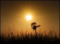 Bursting with Golden Light (adrians_art) Tags: plants sunrise golden silhouettes dandelion seedhead sunbursts